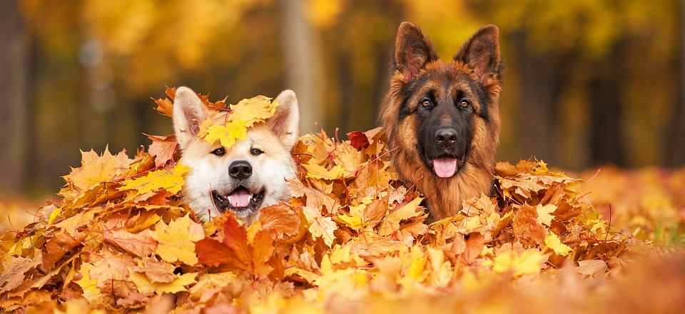 Image: Dogs in autumn leaves  Link to child page: Animals and pets