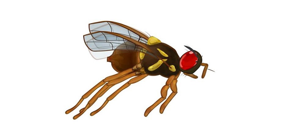 Image: Queensland Fruit Fly  Link to child page: Queensland fruit fly