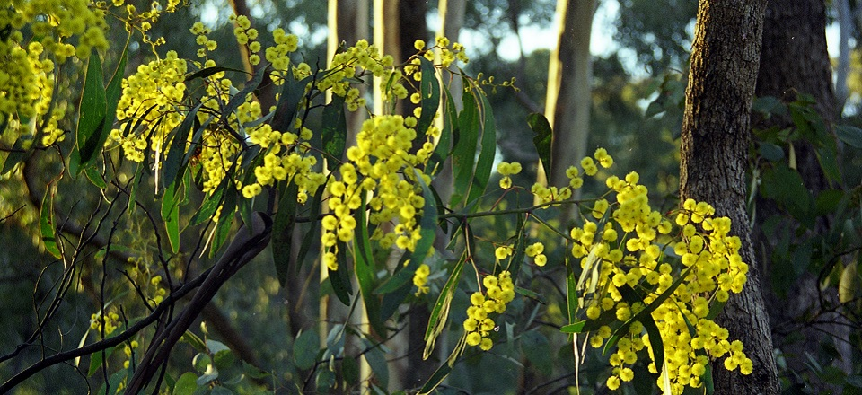 Image of wattle