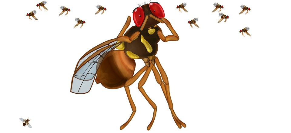 Image: Illustrated Queensland fruit fly looking worried.  Link to child page: Queensland fruit fly in home gardens