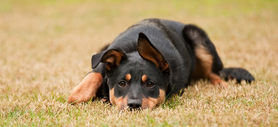 Cute kelpie lying down