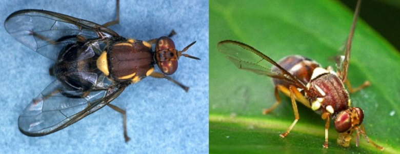 Close up of Queensland fruit fly